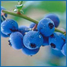 blueberry eliquid